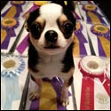 Rocky, the dog show champion, shows off all his ribbons
