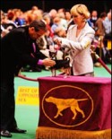 Dog Show Blues - Rocky on display at Westminster