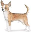 Chihuahua - AKC breed