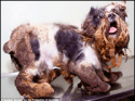 Rescued Cavalier King Charles dog undergoes amazing transformation
