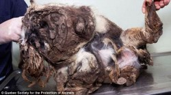 Total mess: The little dog was so covered in fur that it was unrecognizable before his rescuers decided it was time for a hair cut