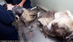 Don't need that coat anymore: Fur comes off like one giant matted mess