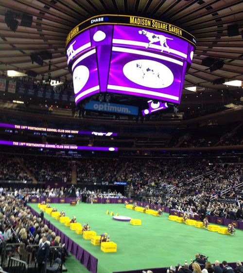 Getting ready for Best in Show at Madison Square Garden