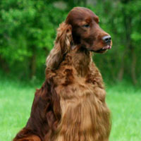Champion Irish setter Jagger died from suspected poisoning at Crufts