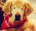 Smiley, the Blind Therapy Dog