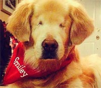 Smiley, the blind golden retriever therapy dog : Joanne George/Facebook
