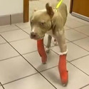 Roscoe, a rescued pit bull puppy gets surgery to correct his deformed paws