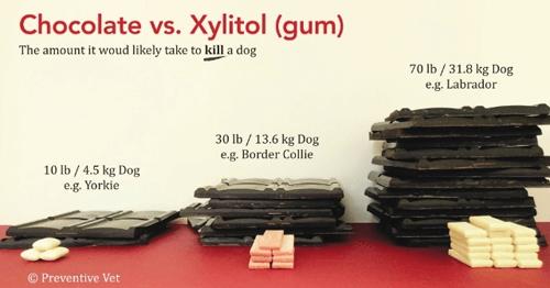 Chocolate vs. Xylitol (Gum)