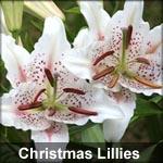 Christmas Lillies