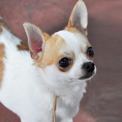 Grand Champion Bill, a Chihuahua
