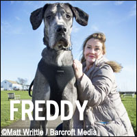 Freddy is a Gereat Dane from Essex, England