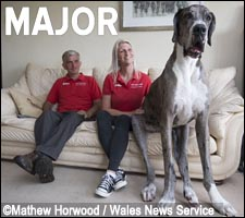Major is a Great Dane from south Wales, England