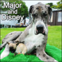 Giant Great Dane Major with his little pal Chhuahua