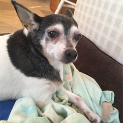 Terra , a chihuahua mix, was adopted as a senior dog