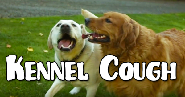 Kennel Cough in Dogs -