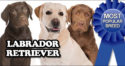 Labrador Retriever Most Popular Breed Once Again