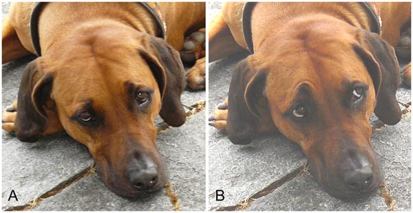 Paedomorphic Facial Expressions Give Dogs a Selective Advantage