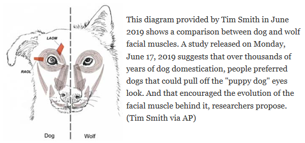 Facial muscles in a dog vs. wolf