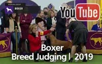 Boxers | Breed Judging 2019
