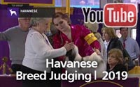 Havanese | Breed Judging 2019