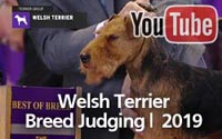 Welsh Terriers | Breed Judging 2019